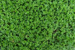 Green Grass - Potentilla erecta Background Royalty Free Stock Photography