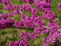 Green Grass and Purple Blossoms. Photo of green grass and purple blossoms during spring in april stock photography