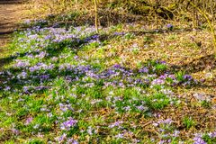Green grass with purple crocus flowers in the forest. Wonderful and sunny day in Brunssummerheide in south Limburg in the Netherlands Holland stock images