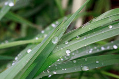 Green grass after rain with dew drops. Royalty Free Stock Photos
