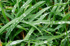Green grass with rain drops Stock Images