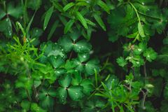 Green grass after rain in summer royalty free stock image
