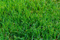 Green grass after rain. With water droplets Stock Photos
