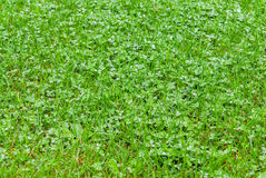 Green grass with raindrops Royalty Free Stock Photo