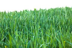 Green grass with Raindrops isolated Stock Images