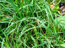 Green grass with raindrops on lawn in autumn rain stock photo