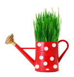 Green grass in red polka dot watering can isolated on white Royalty Free Stock Photography