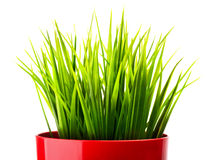 Green grass in a red pot Royalty Free Stock Image