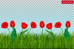 Green grass with red tulips isolated on transparent background. Vector Stock Photography