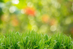 Green grass refreshing in morning sun light Royalty Free Stock Photography