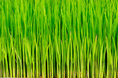 Green Grass rice Royalty Free Stock Photos