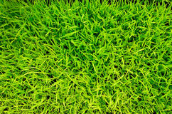 Green Grass rice Stock Images