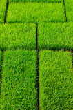 Green Grass rice Stock Photography