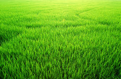 Green Grass rice field. Paddy farm background texture royalty free stock photo