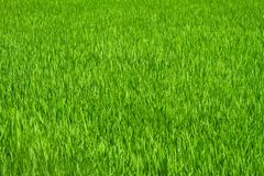 Green grass rice field Royalty Free Stock Photography