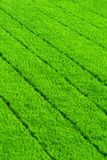 Green grass rice field Royalty Free Stock Images