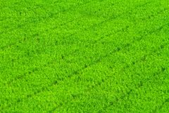 Green grass rice field Stock Image