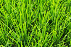 Green grass rice field on closeup. Agriculture. Royalty Free Stock Photography