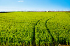 Green grass rice field in Spain Valencia Royalty Free Stock Photos