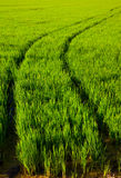 Green grass rice field in Spain Valencia Stock Photo