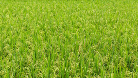 Green grass on rice field at Sunny day. Nature. Royalty Free Stock Image