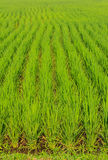Green Grass Rice Field Texture Royalty Free Stock Images