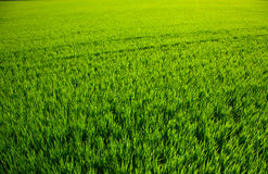 Green grass rice field in Valencia Spain Stock Image