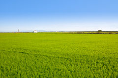 Green grass rice field in Valencia Spain Royalty Free Stock Image