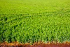 Green grass rice field in Valencia Spain Royalty Free Stock Photo