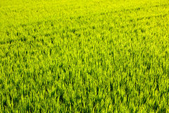 Green grass rice field in Valencia Spain Stock Photography