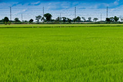 Green grass rice fields Stock Image