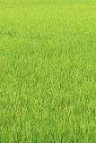Green grass rice fields Stock Photography