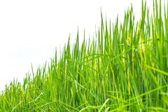 Green grass rice plant isolated stock image