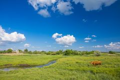 Green grass, river, clouds  and cows. Green grass, river, clouds in blue sky and cows Stock Photo