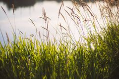 Green grass with a river pond water and flying insects on background at early morning stock image