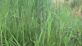 Green Grass by the River stock footage
