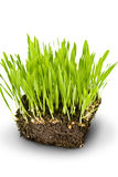 Green grass and roots. On white background Stock Image