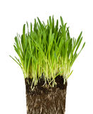 Green grass and roots Royalty Free Stock Photos