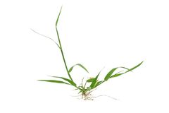 Green grass with roots. On white background Stock Images