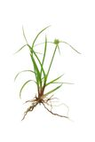 Green grass with roots. Isolated on white background Royalty Free Stock Image