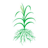 Green grass with roots illustration,  plant vector Stock Photography