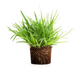 Green grass with roots isolated. Green grass with roots in soil isolated on white background Royalty Free Stock Photography
