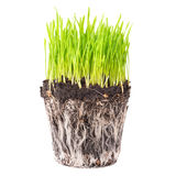 Green grass with roots. Green grass and soil from a pot with plant roots isolated on white background Royalty Free Stock Photography
