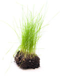 Green grass with roots on white background. Green grass with roots  on white background Royalty Free Stock Photo