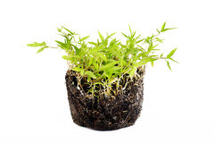 Green grass with roots. On white background Royalty Free Stock Image