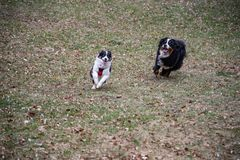 Green grass run during the day on the Australian shepherd`s meadow and Bernese mountain dog. Play of happy puppies, with copy space for punnlicitarian writing stock photo
