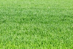 Green grass, rye, wheat field, meadow, pasture background as spr Stock Photo