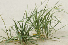Green grass on sand. Royalty Free Stock Image
