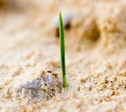 Green grass in the sand in the nature Royalty Free Stock Photo