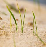 Green grass in the sand in the nature Stock Images